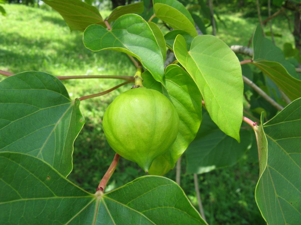 Тунговое масло (Tung oil,  масло китайского дерева, масло Лумбанга)